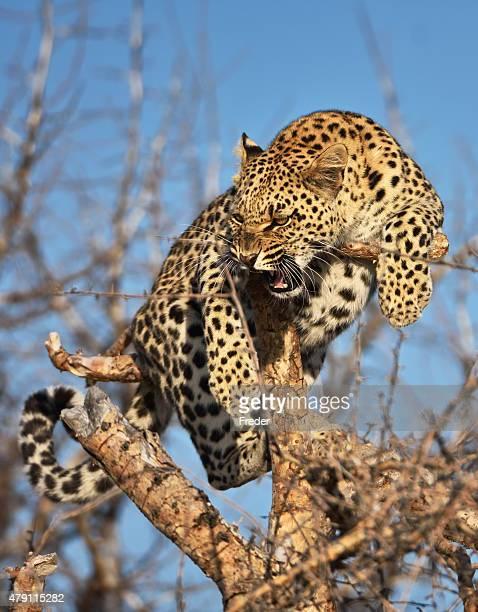 Fauchen leopard auf dem Baum in namibia