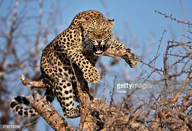 hissing leopard on a tree in namibia