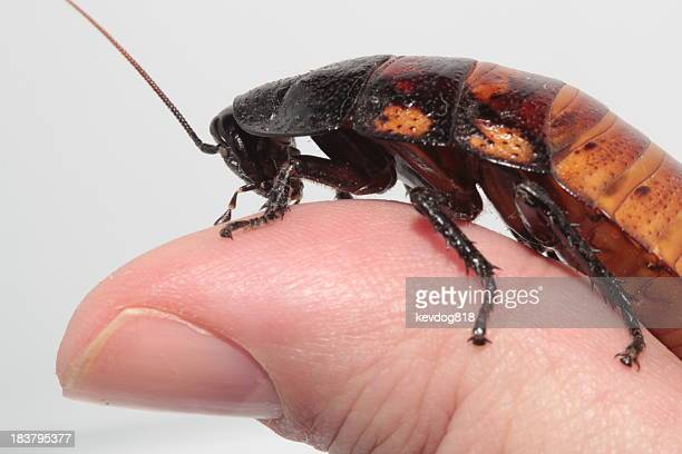 hissing roach on thumb - cockroach stock photos and pictures