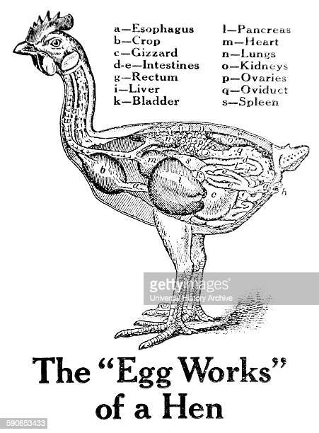 Historic anatomical illustration of a hens organs from the early 20th century