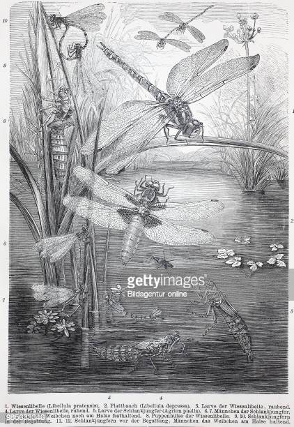 historical image of various dragon fly odonata damselfly Libellula pretensis Libellula depressa Agrion puella digital improved reproduction of an...