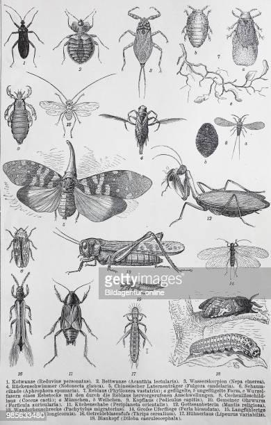 Reduvius personatus acanthia lectularia Nepa cinerea Notonecta glauca Fulgora candelaria Aphrophora spumaria Phylloxera vastatrix Coccus cacti...