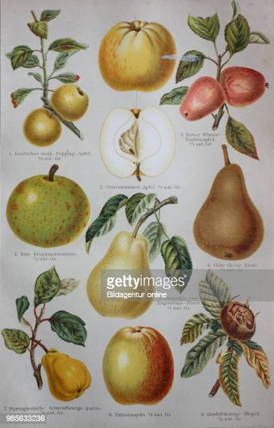apple pear quince medlar