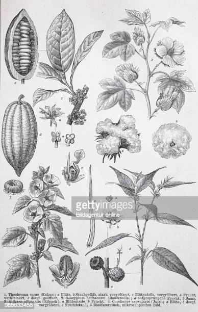 Historical images of various Malvaceae or the mallows is a family of flowering plants Theobroma cacao Gossypium herbaceum Althaea officnalis...