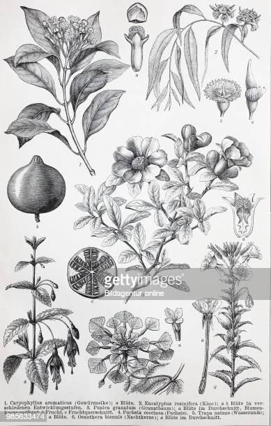 Historical images of various Myrtaceae or the myrtle family: Caryophyllus aromaticus, Eucalyptus resinifera, Punica granatum, Fuchsia occinea, Trapa...