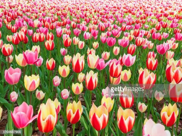 hitachi seaside park in spring time japan. - 五月 ストックフォトと画像