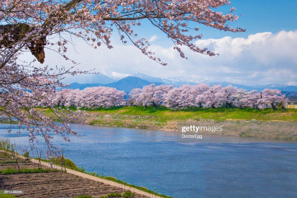 Hitome Senbon Sakura along Shiroishi River at Sendai in Spring Sakura Festival : Stock Photo