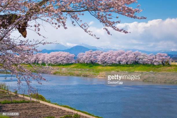 Hitome Senbon Sakura along Shiroishi River at Sendai in Spring Sakura Festival
