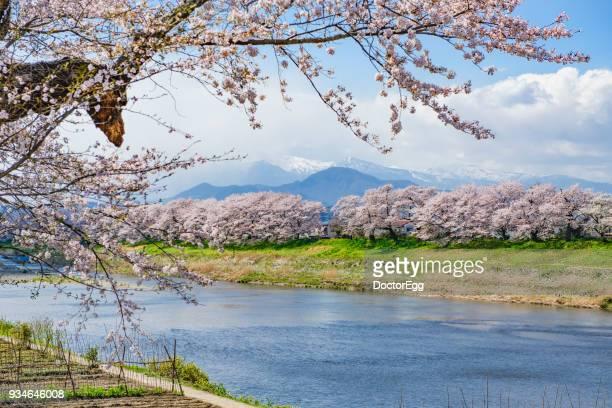 hitome senbon sakura along shiroishi river in spring blue sky day - miyagi prefecture stock pictures, royalty-free photos & images