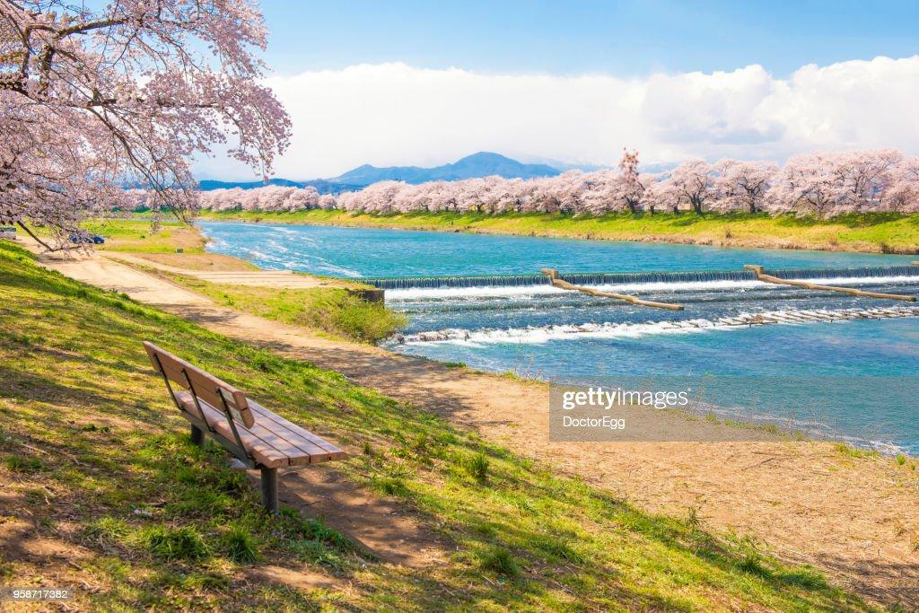 Hitome Zenbon Thousand Sakura Trees along Shiroishi River in Spring, Japan : Stock Photo