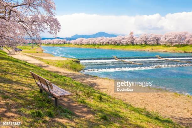 Hitome Zenbon Thousand Sakura Trees along Shiroishi River in Spring, Japan