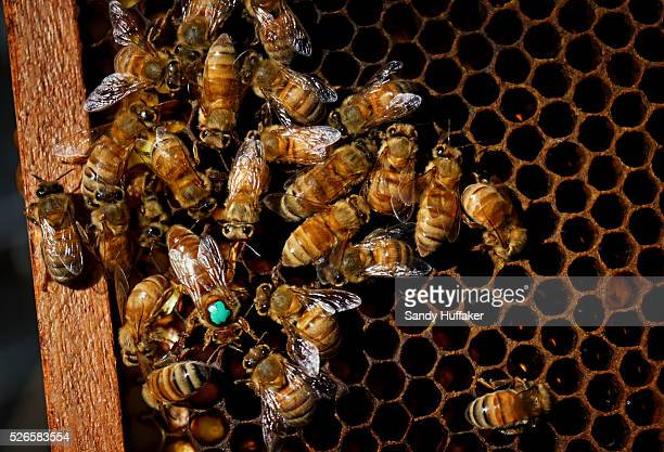 A hive of bees with the Queen Bee marked with a Green spot at Mark Kukuchek's backyard Bee Hive in Bonita CA on Thursday February 12 2015 The city of...