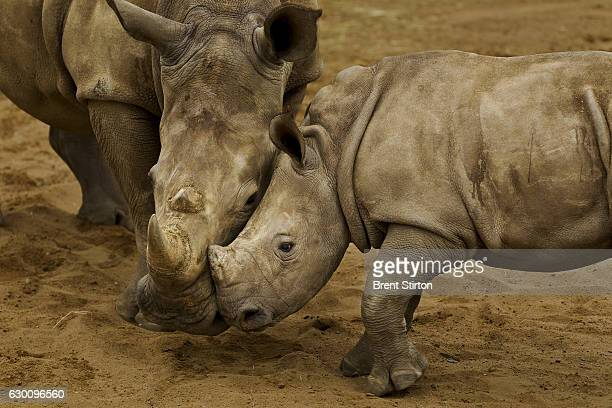 HLUHLUWEiMFOLOZI PARK SOUTH AFRICA NOVEMBER 6 A White Rhino calf mother and juvenile male in holding pens at HluhluweiMfolozi Park South Africa on...