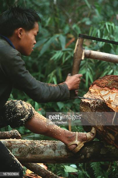 Hmong boy works his half of a twoman saw to cut a sandalwood log in to pieces small enough to be carried out of the jungle by Hmong men Much of the...
