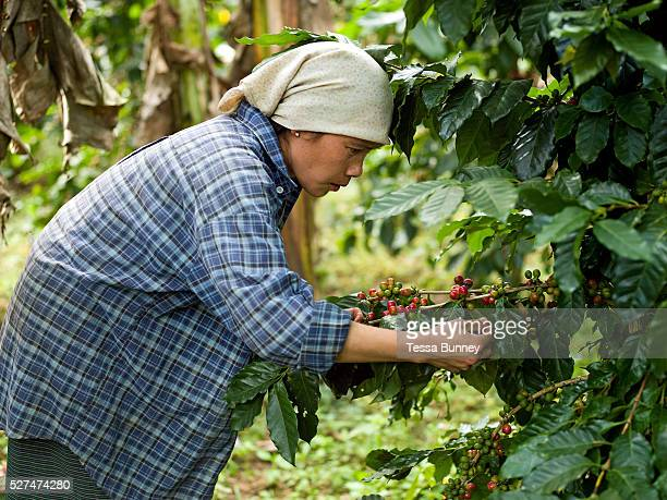Hmong ethnic minority woman in Ban Long Lan harvests Arabica coffee cherries for 'Saffron coffee', Luang Prabang province, Lao PDR. The coffee is...