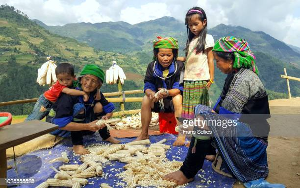 hmong women peeling the corn, vietnam - frans sellies stock pictures, royalty-free photos & images