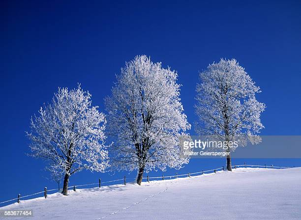 hoar frost on trees - saalfelden stock pictures, royalty-free photos & images