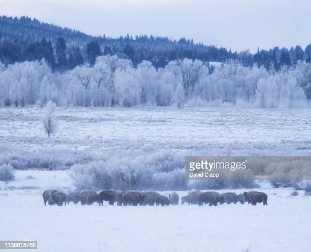 hoar frosted trees in jackson, wyoming, united states of america - グランドティトン国立公園 ストックフォトと画像