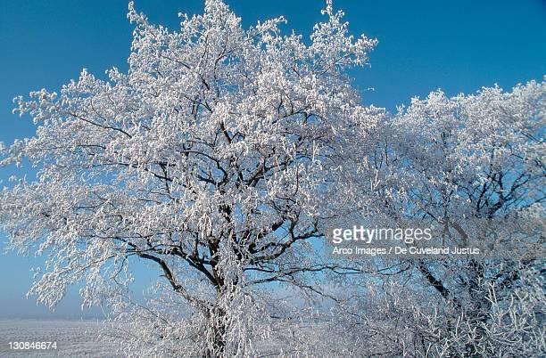 Hoarfrost covered Alder, Lower Saxony, Germany (Alnus glutinosa)