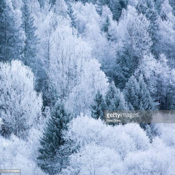hoarfrost in the forest - árbol de hoja caduca fotografías e imágenes de stock
