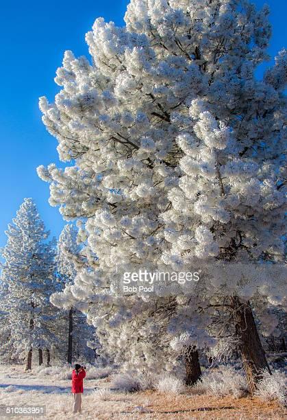 Hoarfrost on Ponderosa Pine trees, Bend Oregon
