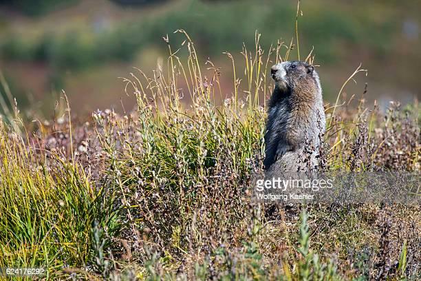 Hoary marmot at Paradise in Mt Rainier National Park in Washington State USA