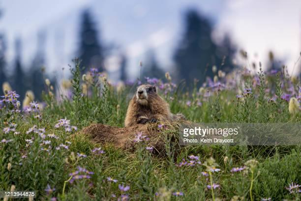 hoary marmot / marmota caligata - 野生動物 ストックフォトと画像