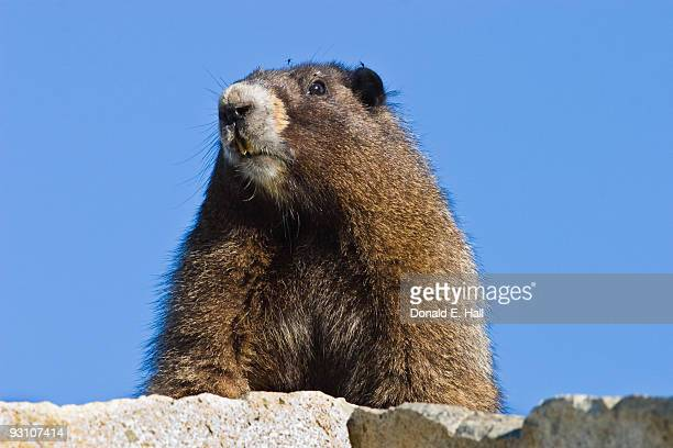 hoary marmot (marmota caligata) - woodchuck stock pictures, royalty-free photos & images