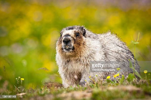 Hoary marmot popping out of hole