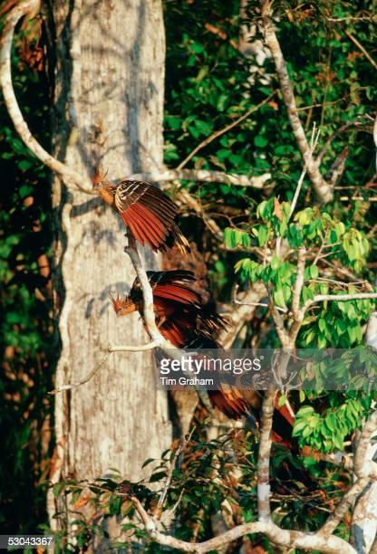Hoatzin birds at Lake Sandoval, Peruvian Rainforest, South America.