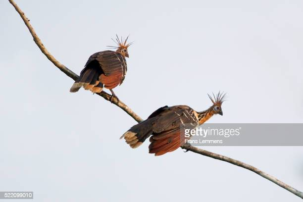 hoatzin birds ( opisthocomus hoazin ) perching on branch, manu national park, boca manu, blanquillo, peru - hoatzin stock pictures, royalty-free photos & images