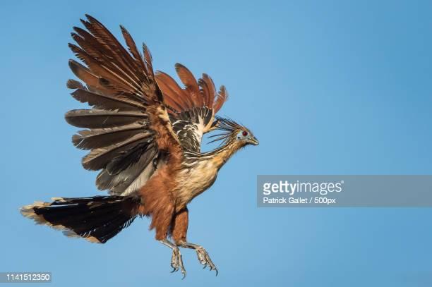 hoatzin (opisthocomus hoazin) in flight - hoatzin stock pictures, royalty-free photos & images