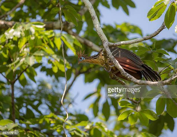 a hoatzin, opisthocomus hoazin, perching on branch in mamiraua sustainable development reserve. - alex saberi fotografías e imágenes de stock