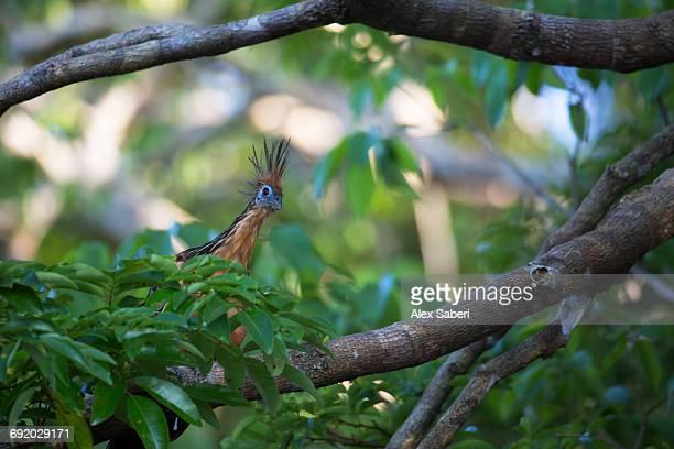 a hoatzin, opisthocomus hoazin, perching on branch in mamiraua sustainable development reserve. - alex saberi stock-fotos und bilder