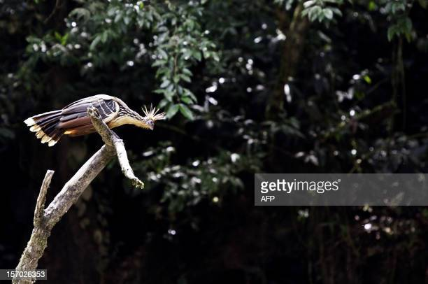Hoatzin perches on a branch in the Ecuadorean Yasuni National Park, Orellana province, Ecuador, on November 11, 2012. The Yasuni National Park...