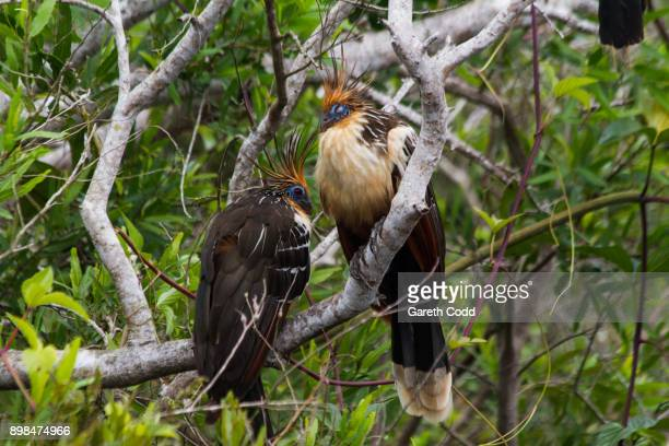 hoatzin - hoatzin stock pictures, royalty-free photos & images
