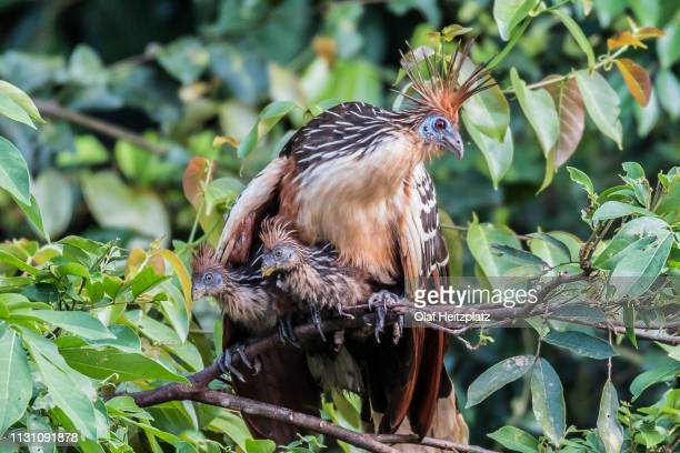 hoatzin (opisthocomus hoazin), sits with two chicks in a tree, rainforest at oxbow-lake, peru - hoatzin stock pictures, royalty-free photos & images
