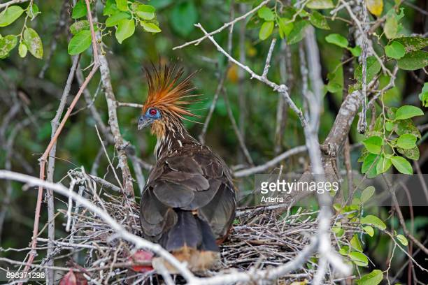 Hoatzin / stinkbird / Canje pheasant on nest in tree, native to the Amazon and the Orinoco delta in South America.