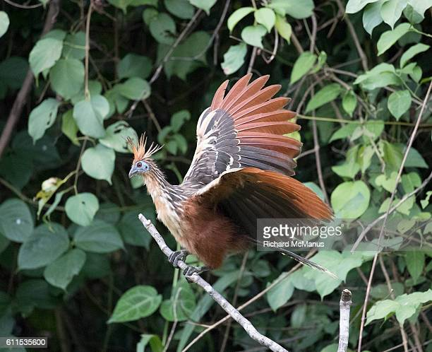 hoatzin with wings spread in manu - hoatzin stock pictures, royalty-free photos & images