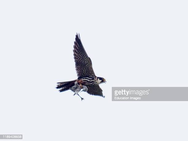 Hobby Falco subbuteo carrying recently caught Avocet chick Cley Norfolk