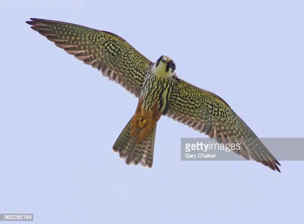 hobby [falco subbuteo] - falcon bird stock photos and pictures