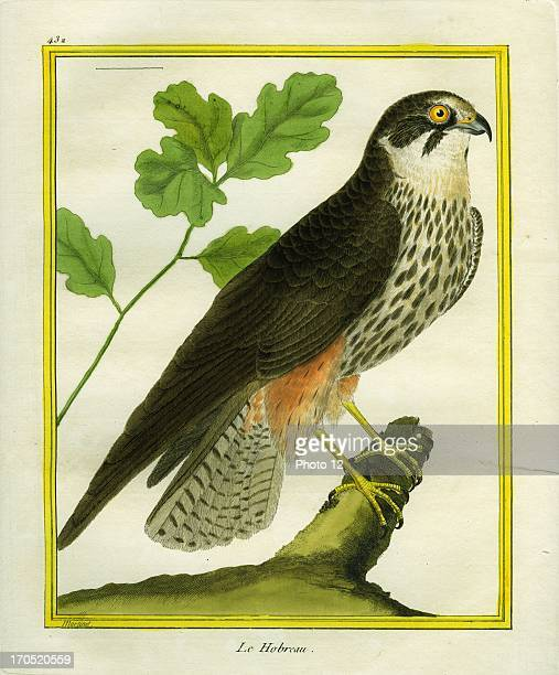 Hobby HypotriorchisHobbyGeorgesLouis Leclerc Comte of Buffon 'Natural History of birds fish insects and reptiles' coloured and engraved by...