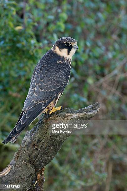 Hobby (Falco subbuteo) perched on stump, Wales, UK