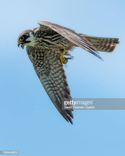 hobby with a dragonfly falco subbuteo - hobbies stock pictures, royalty-free photos & images