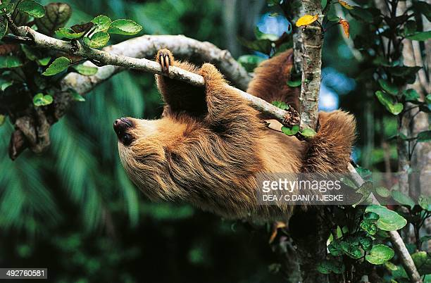Hoffmann's twotoed sloth Megalonychidae