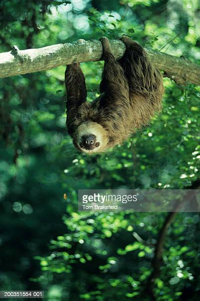 hoffman's two-toed sloth, central or south america - bradipo foto e immagini stock