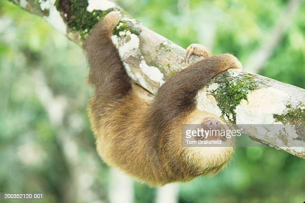 hoffman's two-toed sloth (choloepus hoffmani) - limb body part stock pictures, royalty-free photos & images