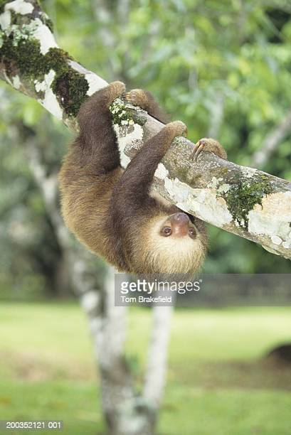 Hoffman's two-toed sloth (Choloepus hoffmani)