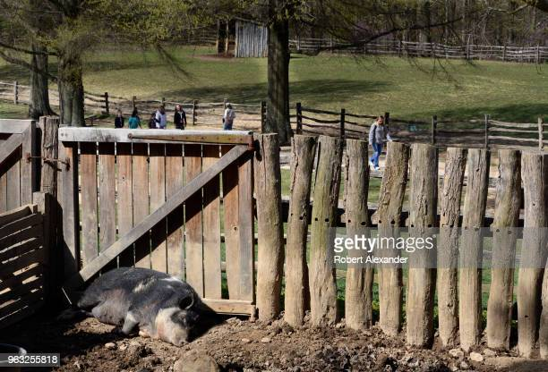 A hog sleeps in its pen at Mount Vernon the plantation owned by George Washington the first President of the United States in Fairfax County Virginia...