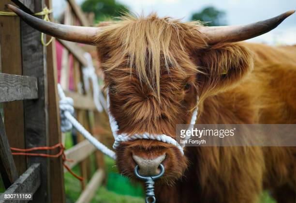 Hoghland Cow is tethered to a railing during the 194th Sedgefield Show on August 12 2017 in Sedgefield England The annual show is held on the second...